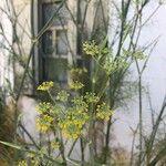 Foeniculum vulgare 花