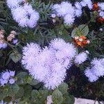 Ageratum houstonianum Pflanze