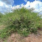 Acacia mellifera 形態