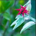 Euphorbia tithymaloides Flower
