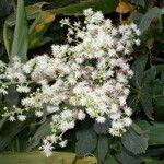 Mimosa watsonii