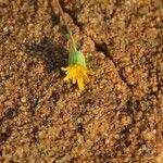 Emilia discifolia Flower