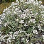 Helichrysum melaleucum