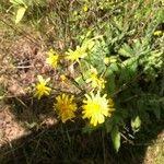 Crepis capillaris Flower