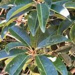 Santalum austrocaledonicum Blad