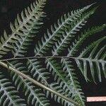 Pteris altissima