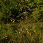 Bromopsis erecta