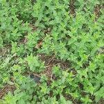 Mentha spicata Leaf