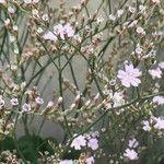 Limonium delicatulum