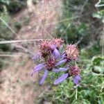 Galatella sedifolia Flower