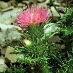 Carduus aurosicus