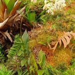 Epidendrum patens