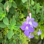 Streptocarpus saxorum Fleur