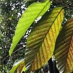 Dipterocarpus sublamellatus