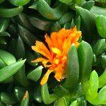Disphyllum cv. 'Sunburn'