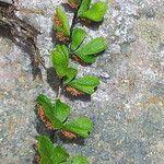 Asplenium triphyllum
