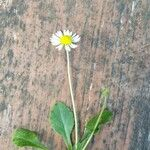 Bellis rotundifolia