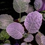 Brassica oleracea List