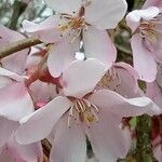 Prunus pedunculata