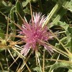 Centaurea senegalensis