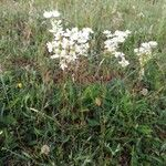 Filipendula vulgaris Flor