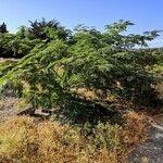 Albizia julibrissin Leaf