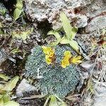 Saxifraga aretioides