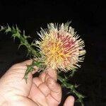 Cirsium horridulum Fleur