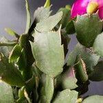 Schlumbergera truncata List