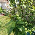 Prunus domestica 葉