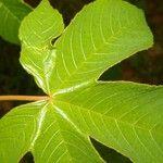 Croton trinitatis