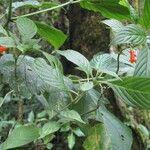 Besleria solanoides
