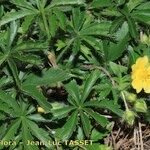 Potentilla fagineicola