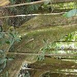 Swartzia caribaea