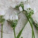 Allium neapolitanum Flower