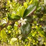 Ehretia microphylla