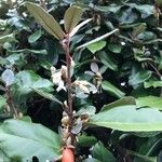 Elaeagnus macrophylla