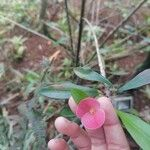 Euphorbia milii Cvet