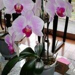 Phalaenopsis spp. Leaf