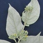 Solanum lepidotum