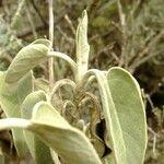 Sideritis dendrochahorra