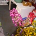 Anacamptis pyramidalis Flower