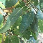 Quercus infectoria