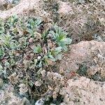 Limonium ovalifolium