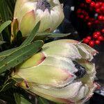 Protea caffra