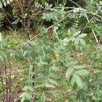 Fraxinus excelsior Blad