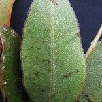 Elaphoglossum muscosum
