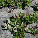 Salix uva-ursi