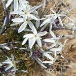 Amsonia longiflora