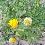 Calendula officinalis Flower